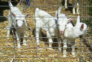 bosky acres baby goats