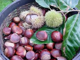 fresh picked chestnuts