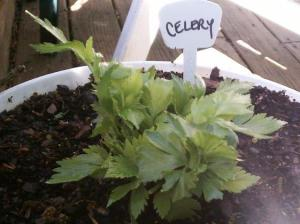 regrown celery