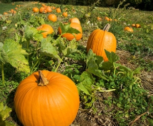 pumkins in the field