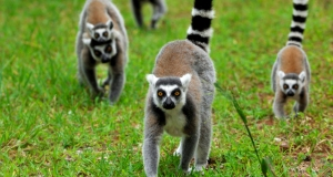 duke-lemur-center